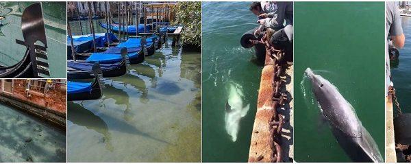 Effetto Coronavirus. Venezia come non l'avete mai vista: canali limpidi e puliti. E nel porto di Cagliari tornano i delfini!