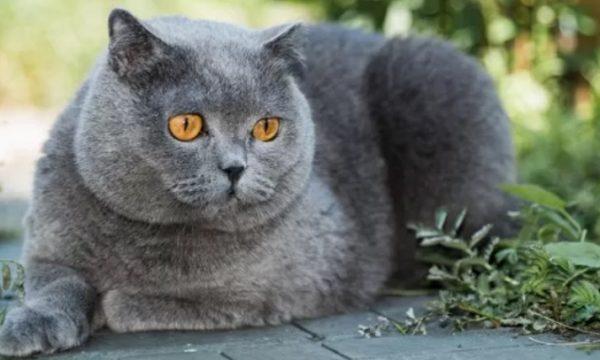 Il gatto grigio.