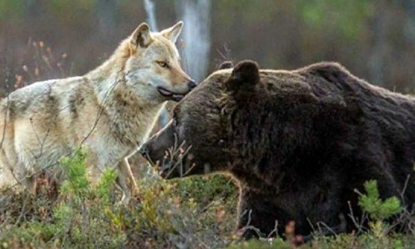 Sarà più facile cacciare orsi e lupi in Alaska.